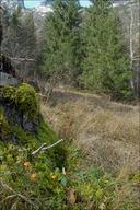 Galerina marginata