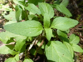 Prunella vulgaris var. vulgaris