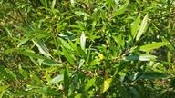 Salix ligulifolia
