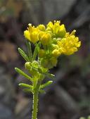 Descurainia pinnata ssp. brachycarpa