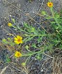 Heterotheca villosa var. minor