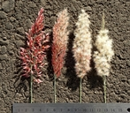 Melinis repens ssp. repens