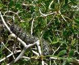 Psorothamnus arborescens