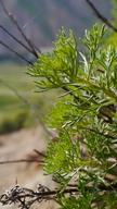 Artemisia michauxiana