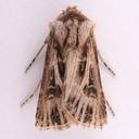 Agrotis venerabilis