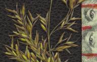 Agrostis hooveri