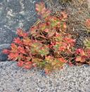 Rhodiola integrifolia ssp. integrifolia