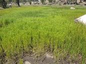 Dulichium arundinaceum var. arundinaceum