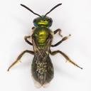 Augochlorella pomoniella