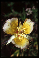 Calochortus weedii var. intermedius