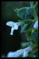 Clinopodium chandleri