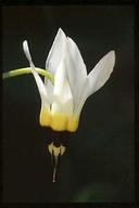 Primula clevelandii var. clevelandii