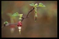 Ribes californicum var. hesperium