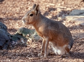 Patagonian Cavy Or Hare