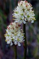 Triantha occidentalis ssp. occidentalis