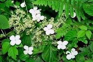 Hydrangea anomala ssp. petiolaris