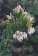 Arctostaphylos virgata