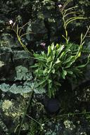 Boechera breweri ssp. shastaensis