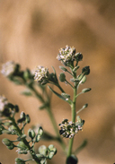 Lepidium pinnatifidum