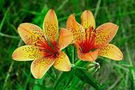 Lilium dauricum