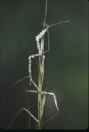 Stipa occidentalis