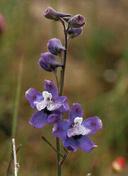 Delphinium parryi