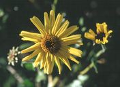 Encelia californica