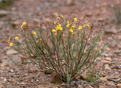 Crocanthemum scoparium