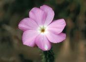 Leptodactylon californicum
