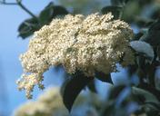 Sambucus mexicana
