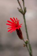 Silene laciniata ssp. laciniata