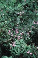 Silene dioica