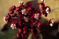 Asclepias cordifolia
