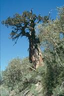 Juniperus grandis