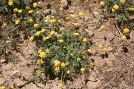 Lomatium plummerae