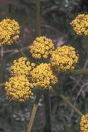 Lomatium triternatum var. macrocarpum