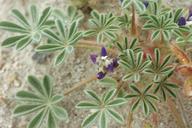 Lupinus brevicaulis