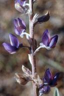 Lupinus argenteus var. heteranthus