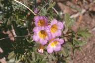 Phacelia bicolor var. bicolor