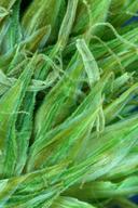 Carex pachycarpa