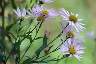 Aster sp.