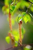 Betula sp.