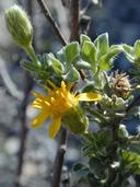 Heterotheca sessiliflora ssp. fastigiata
