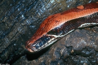 Red Blood Python