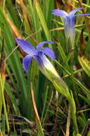 Gentianopsis simplex