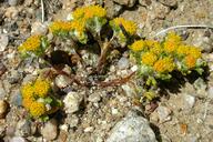 Eriophyllum pringlei