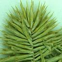 Cyperus strigosus