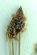 Eleocharis montevidensis