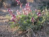 Astragalus cimae var. cimae