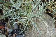 Chaenactis suffrutescens